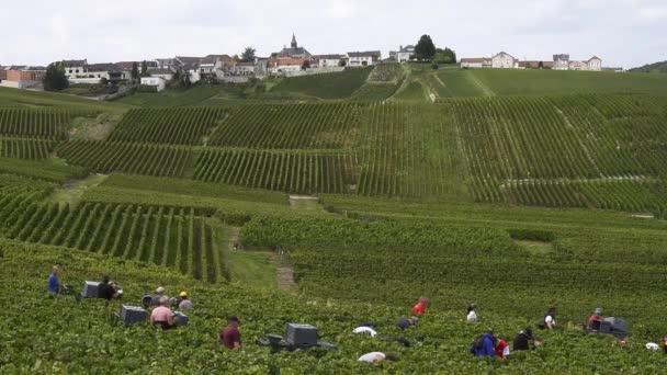 Cramant, Francie – 11. září 2017: Sklizeň šampaňské hroznů s mnoha hroznů výběr