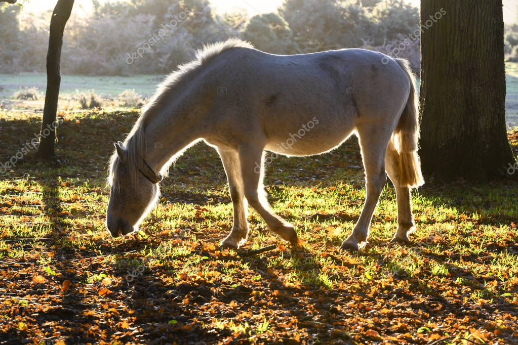 Horse in woodland during sunrise in New Forest, Hampshire, England