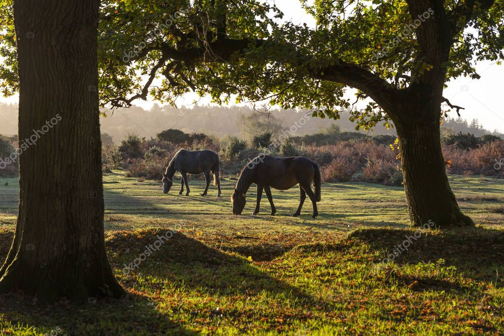 Two horses in woodland during sunrise in New Forest, Hampshire, England