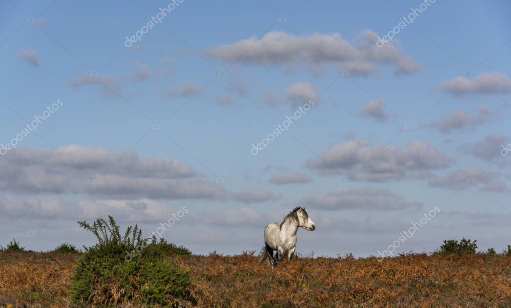 White Horse on Heathland in New Forest, Hampshire, England, on a sunny autumn day.