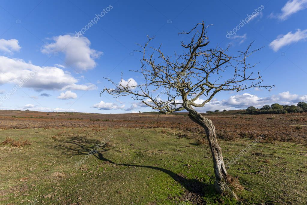 Solitary dead tree in New Forest on the heathland on a summers autumn day, England.
