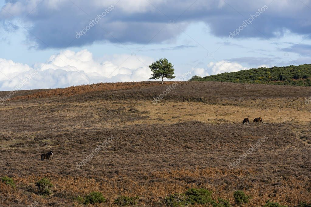Solitary pine tree in New Forest with three horses on the heathland in  autumn, England.