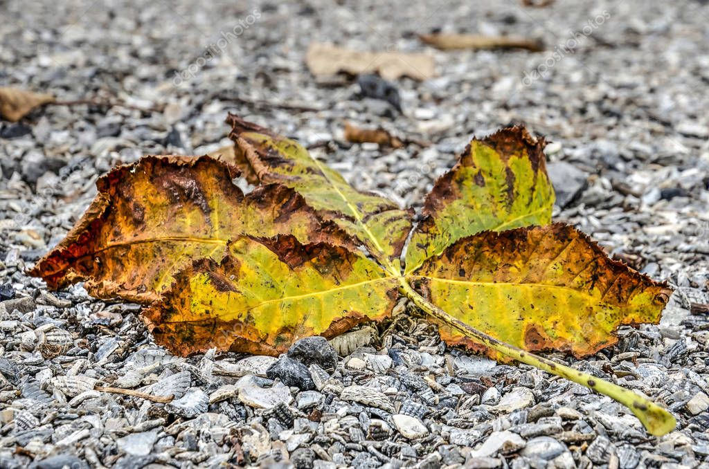 Fallen chestnut leaves on  twig, in shades between yellow, green and brown, on a gravel surface in autumn