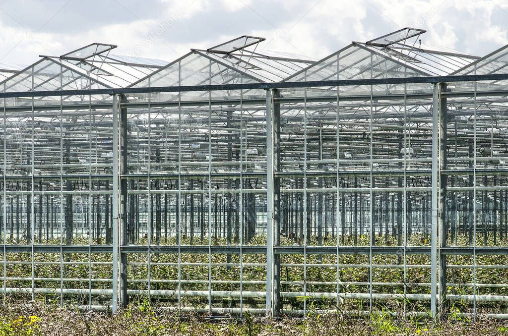 Looking diagonally into a large greenhouse complex in Lansingerland, The Netherlands with opened windows in its roof