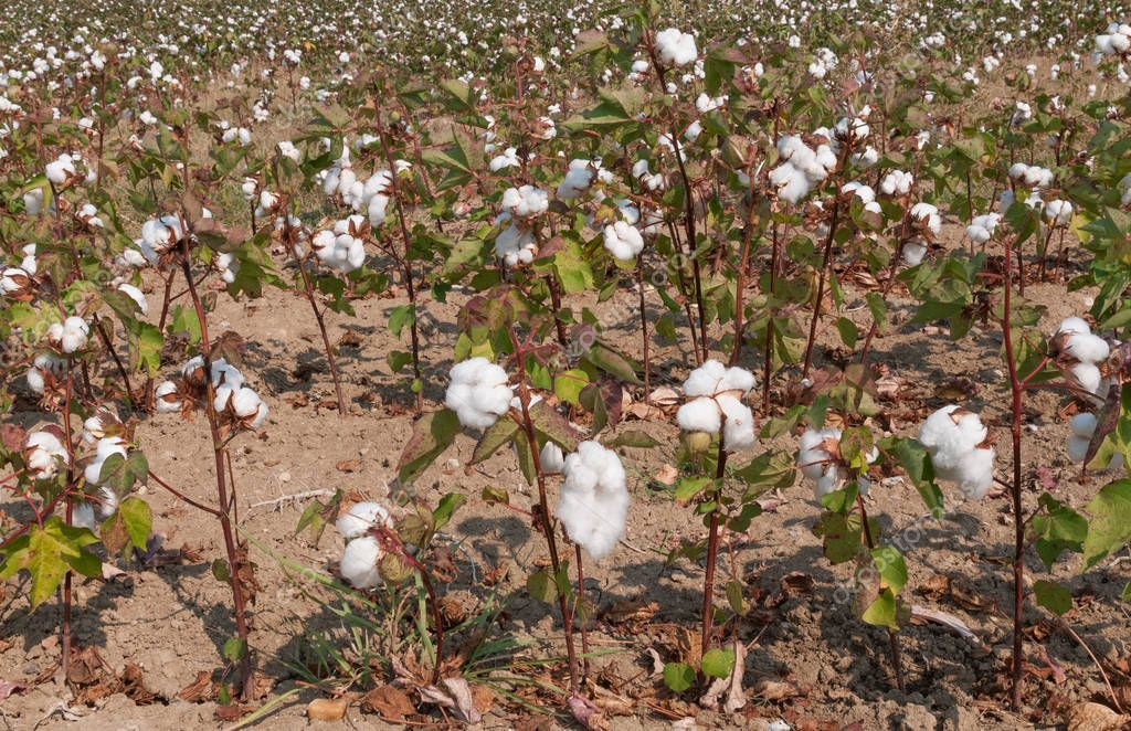Field of Cotton Plants showing the white balls of cotton
