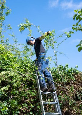 A tree Surgeon or Arborist using a ladder to trim a high hedge.