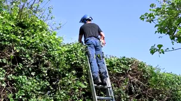 Fa sebész vagy arborista segítségével sövénynyíró metszeni egy magas sövény