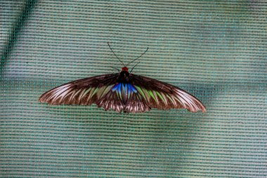 A female of Rajah Brooke's birdwing butterfly (Trogonoptera brookiana), a national butterfly of Malaysia