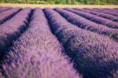 Krásná Levandulová pole při západu slunce v Provence, Francie