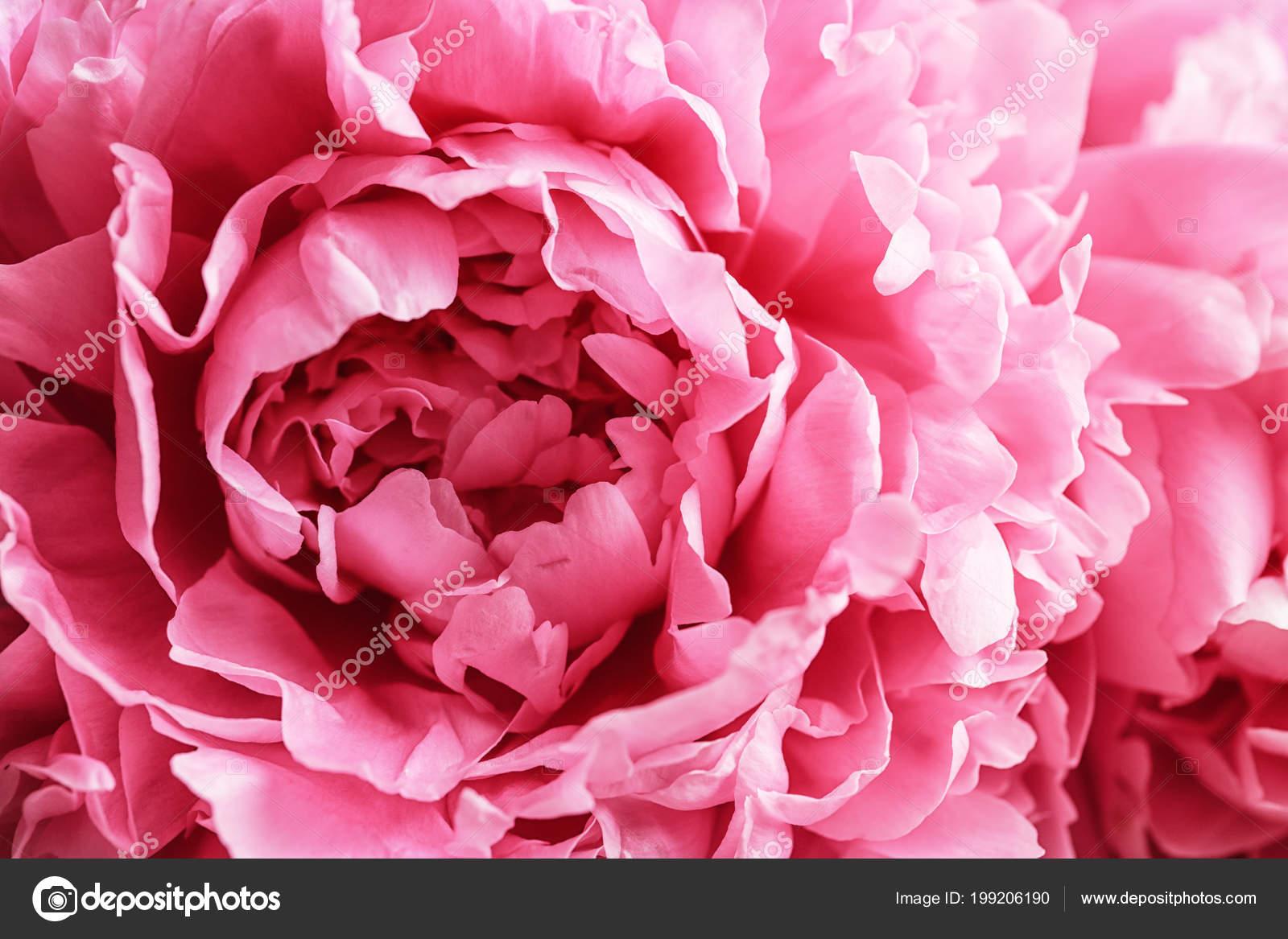 flor hermosa peonía fragante como fondo foto de stock