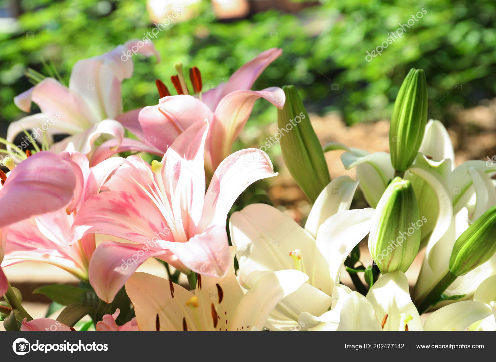Beautiful Blooming Lily Flowers Garden Closeup Stock Photo