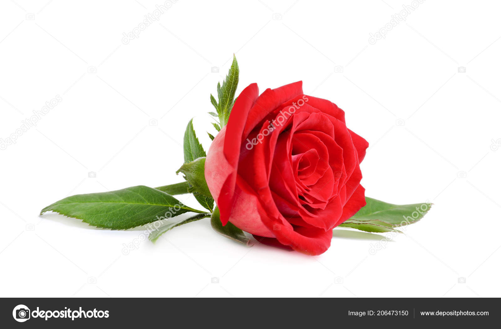 Beautiful Red Rose Flower White Background Stock Photo