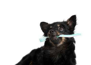 Cute long haired dog with toothbrush on white background. Pet care