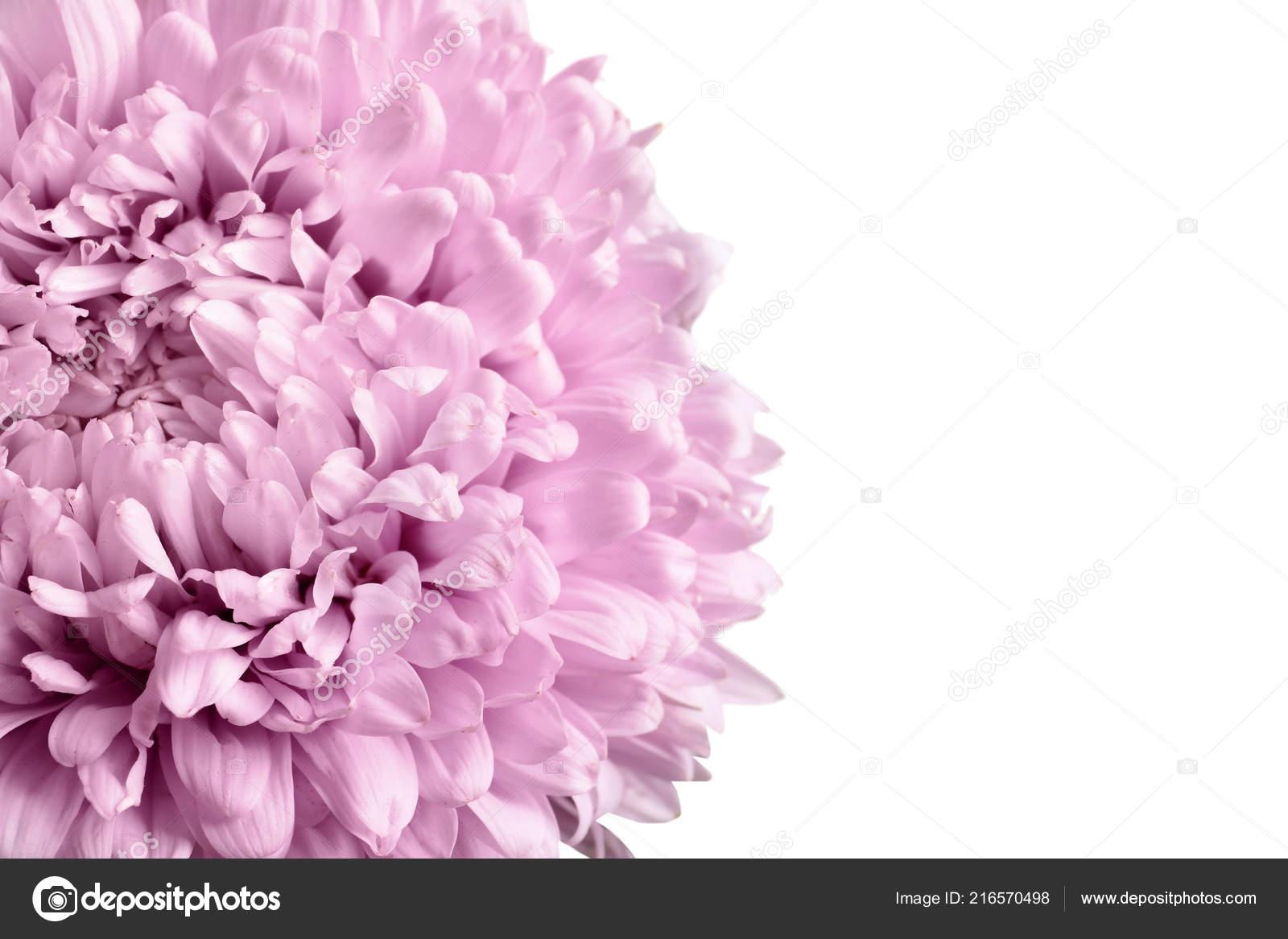 Beautiful Aster Flower White Background Closeup Stock Photo
