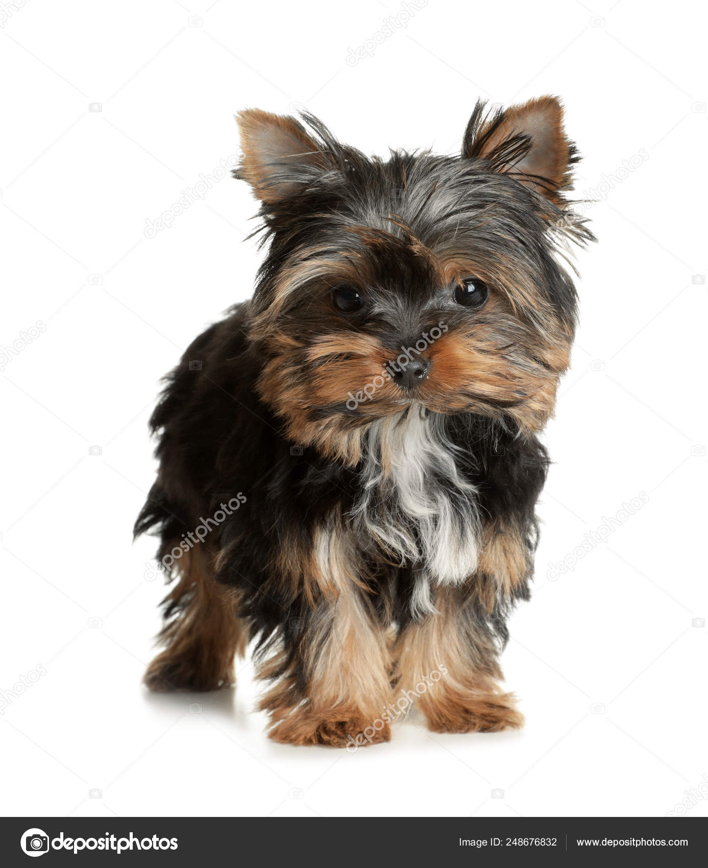 Cute Yorkshire Terrier Puppy On White Background Happy Dog Stock Photo C Liudmilachernetska Gmail Com 248676832