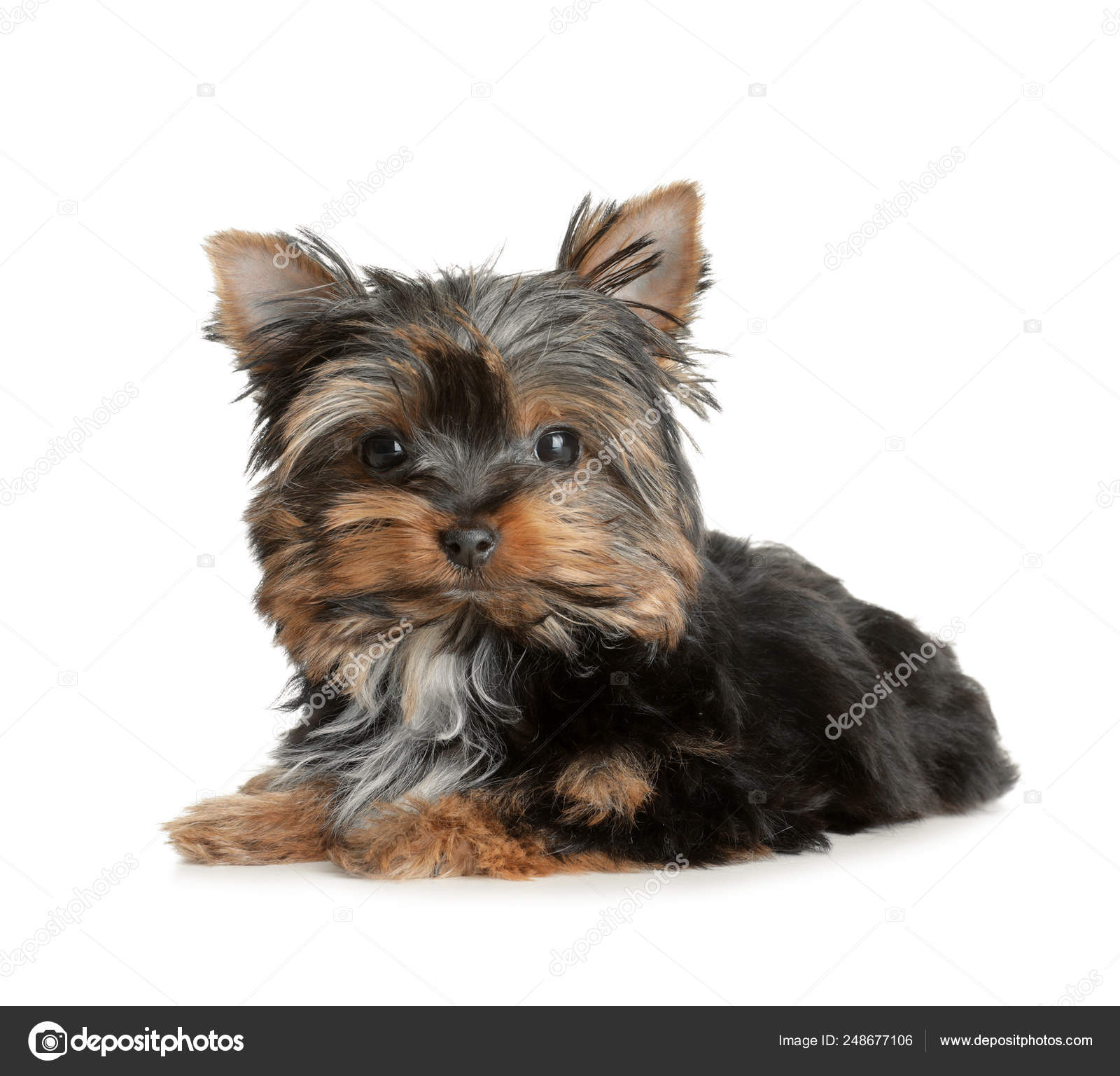 Cute Yorkshire Terrier Puppy On White Background Happy Dog Stock Photo C Liudmilachernetska Gmail Com 248677106