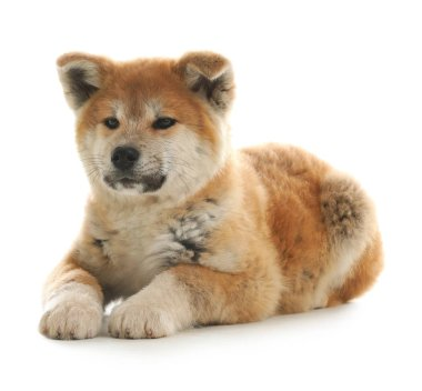 Cute akita inu puppy isolated on white