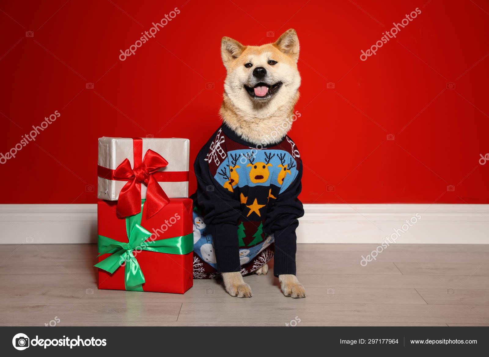 Anjing Akita Inu Yang Lucu Dengan Sweater Natal Di Dekat Kotak Hadiah Di Dalam Ruangan Stok Foto C Liudmilachernetska Gmail Com 297177964