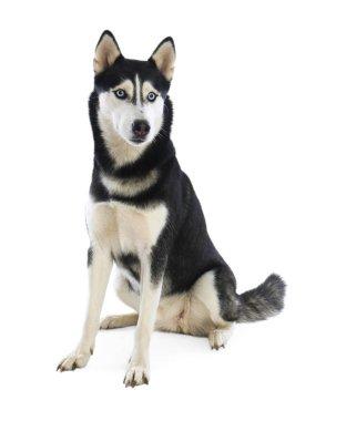 Cute Siberian Husky dog isolated on white