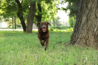 Cute Chocolate Labrador Retriever in green summer park