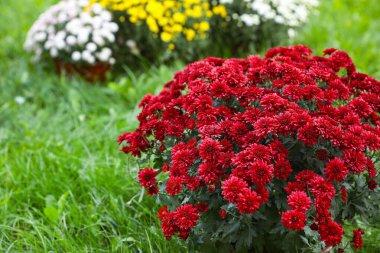 Beautiful blooming Chrysanthemum bushes outdoors. Autumn flowers