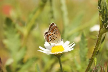 Beautiful butterfly on chamomile flower outdoors, closeup