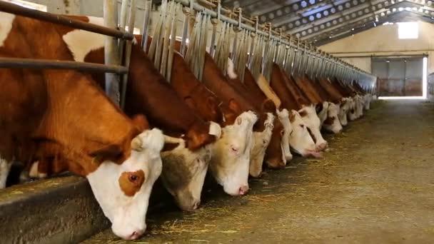 Krávy na chov. Krávy pasoucí se na zelené louce