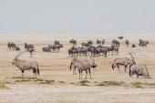 Gemsbok Antilopen in der namibischen Savanne