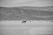 Gemsbok Antilope in südafrikanischer Savanne