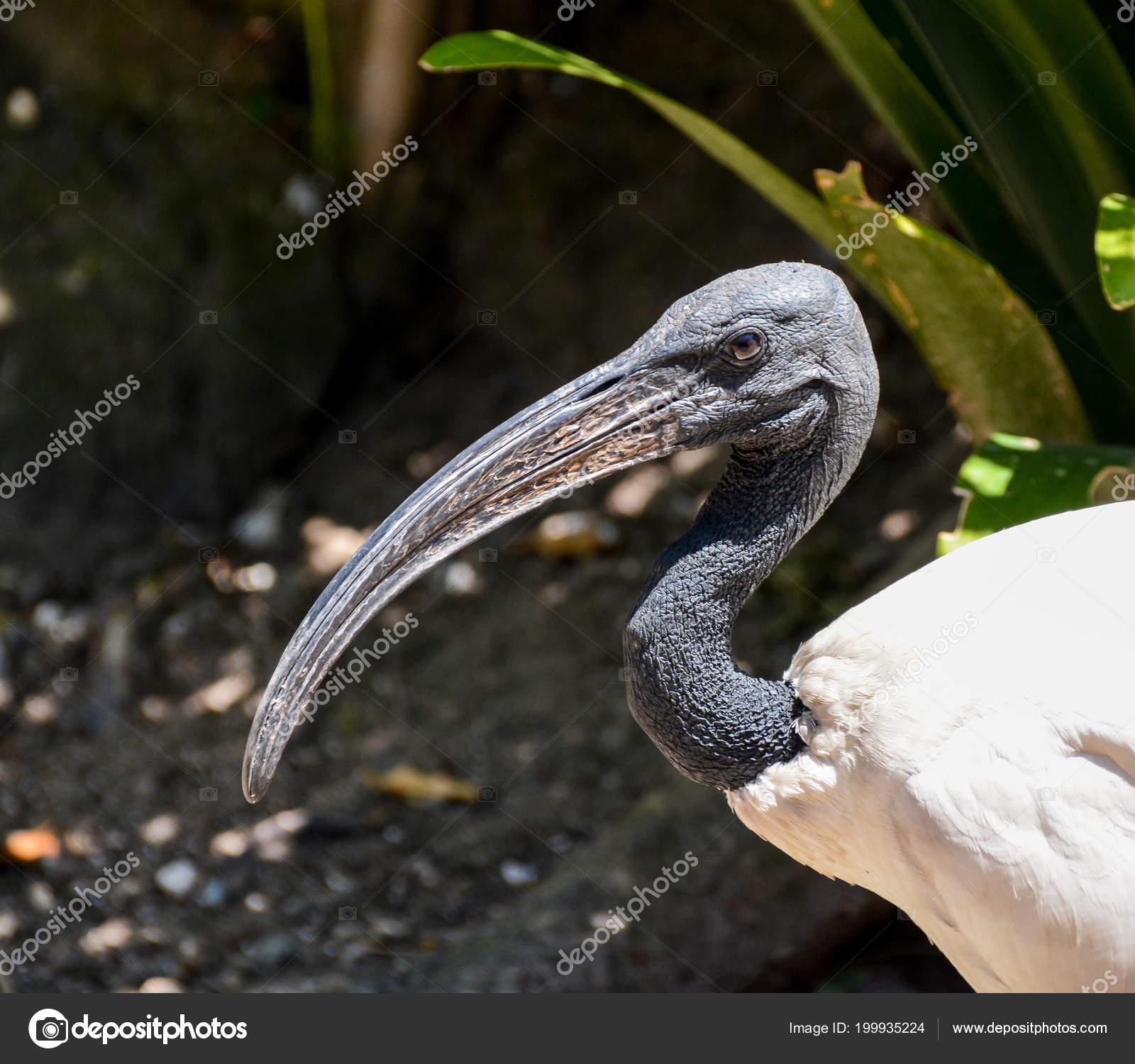 Μαύρο αφρικανικό μεγάλο πουλί