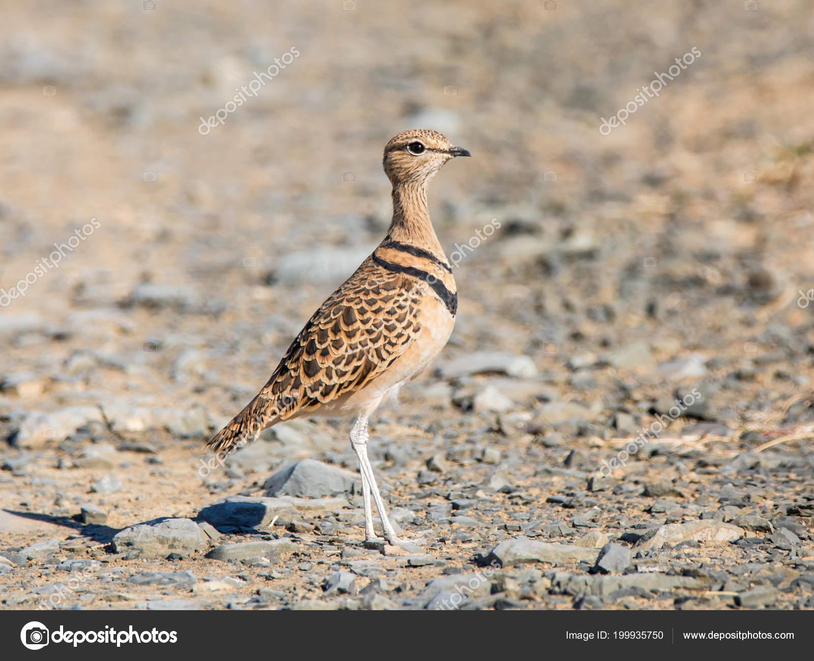 Exquisite Little Bird Common Resident Local Nomad Semi Arid Desert Stock Photo C Binty 199935750