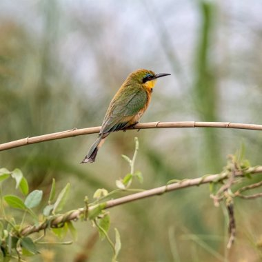 Little Bee-eater perched on a branch in Namibian savanna