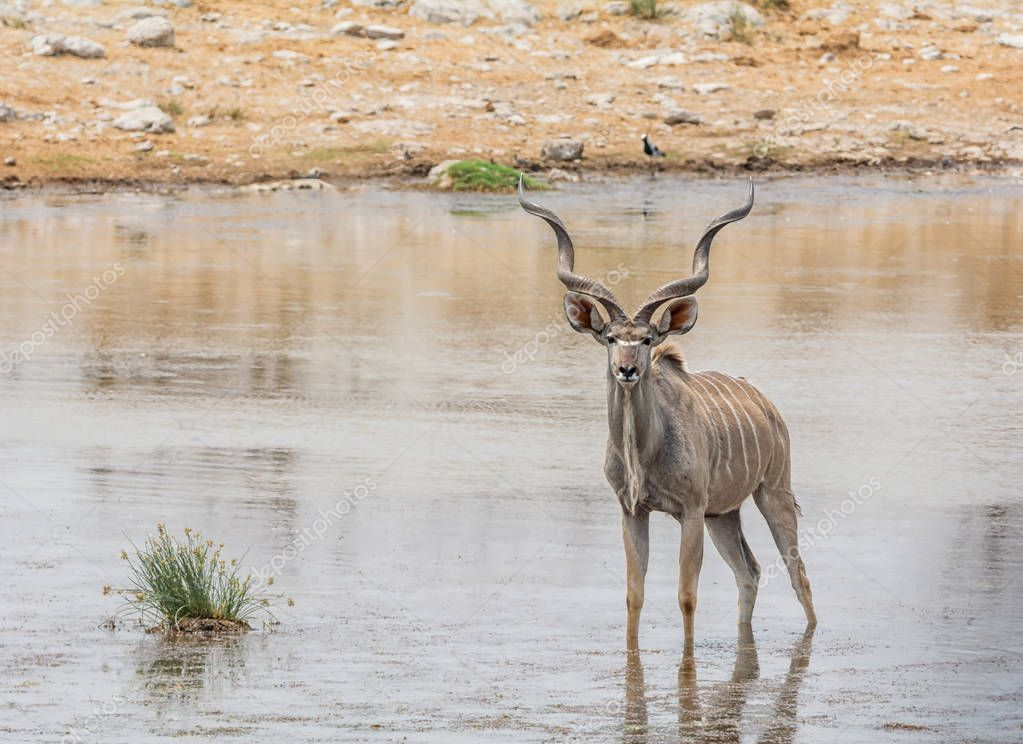 A Kudu Bull at a watering hole in Namibian savanna
