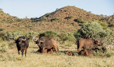 A family group of African Buffalos in the Southern African savanna