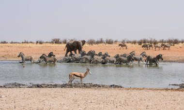 African Elephant chasing Zebra at watering hole in Namibia