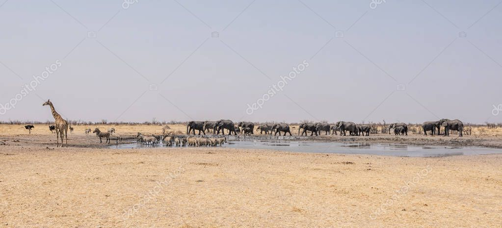 busy watering hole in the Namibian desert savanna