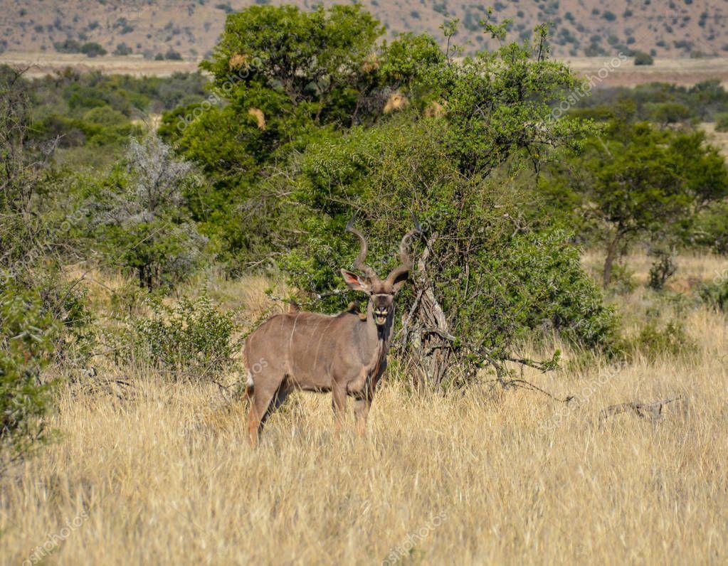 Kudu bull in Southern African savanna