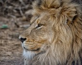 Fotografie Portrait of an adult male Lion in Southern Africa