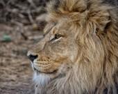 Portrét dospělý muž Lev v Jižní Africe