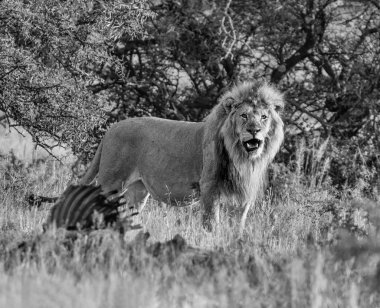 A male Lion stands next to the carcass of an Eland it has killed in the Southern African savannah