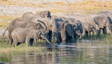 A herd of African Elephants drinking at and swimming in a river in the Caprivi Strip, Namibia