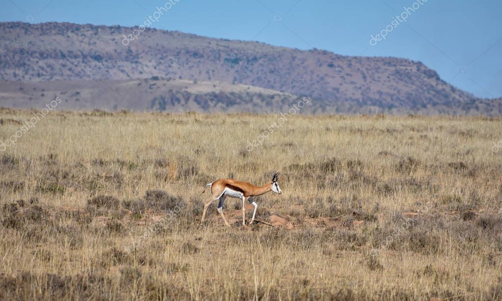 Springbok antelope walking in Southern African savanna