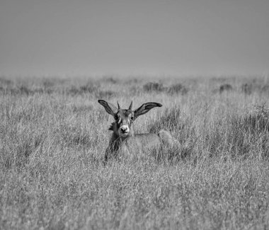 monochrome photo of juvenile Roan antelope resting in Southern African savanna
