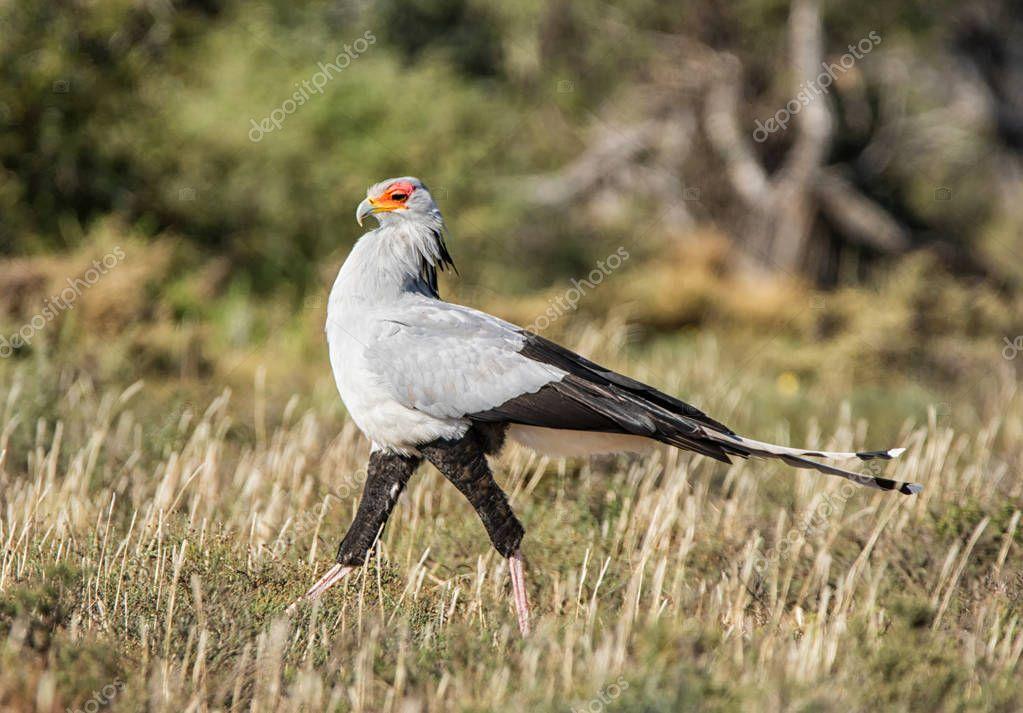 Secretarbird walking through grassland in Eastern Cape, South Africa
