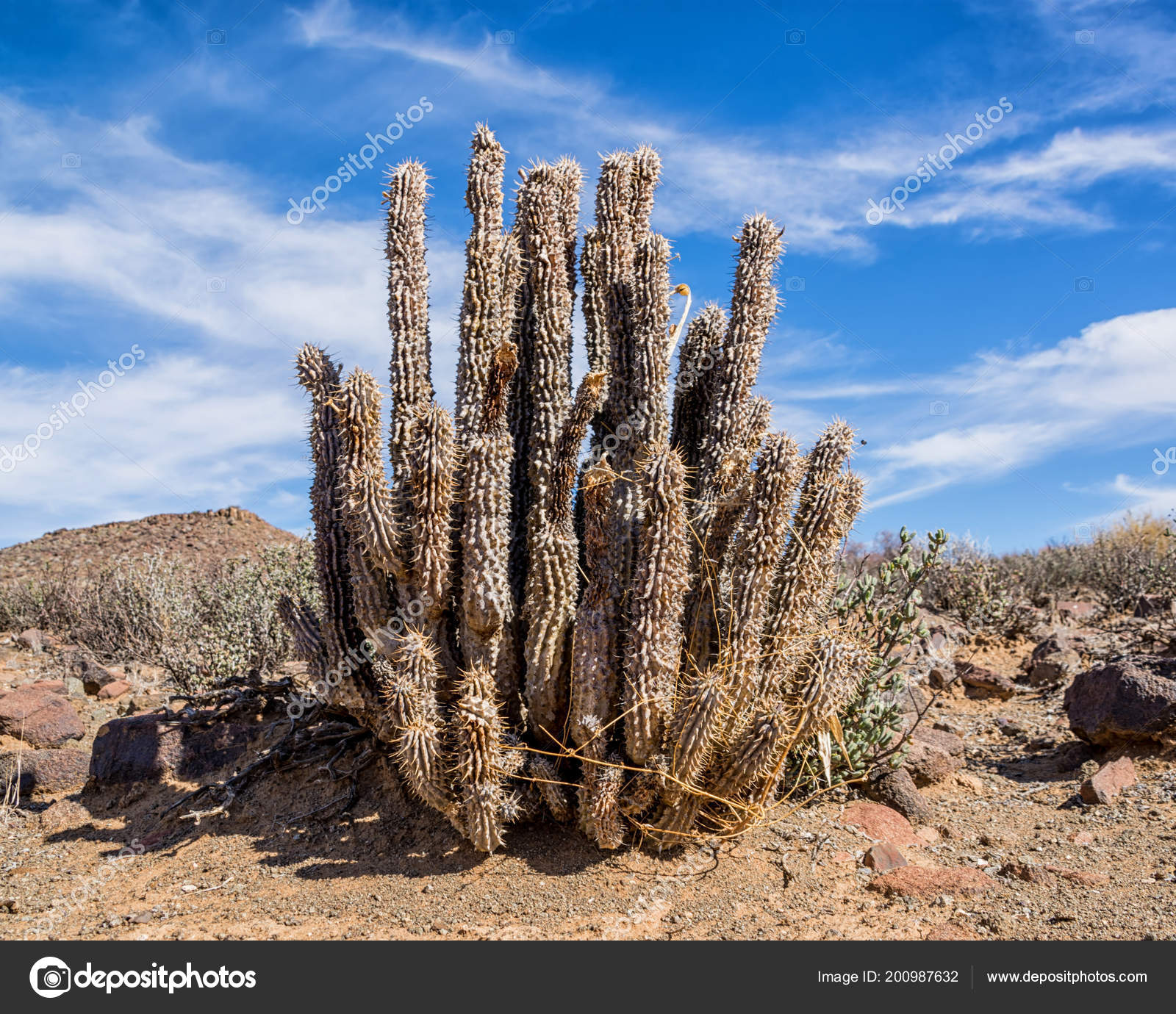 Hoodia Gordonii Plant Northern Cape South Africa Stock Photo