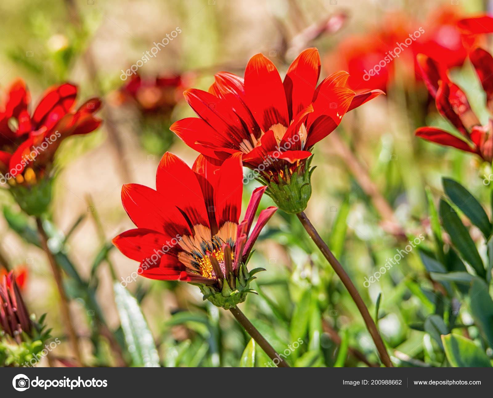 Gazania Krebsiana Fleurs Namaqualand Afrique Sud