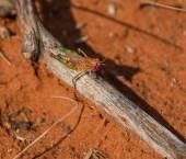 Fotografie Kobylko víla sedící na špejli v Jižní africké savany