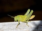 Fotografie zblízka zahrady Locust nymfa v Jižní Africe
