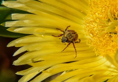 Spider Monkey Beetle covered in pollen on yellow Sour Fig flower