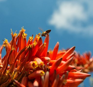 Cape Honey Bee collecting nectar from red aloe flowers